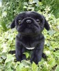 PUG SOFT TOY DOG BLACK 30.5CM
